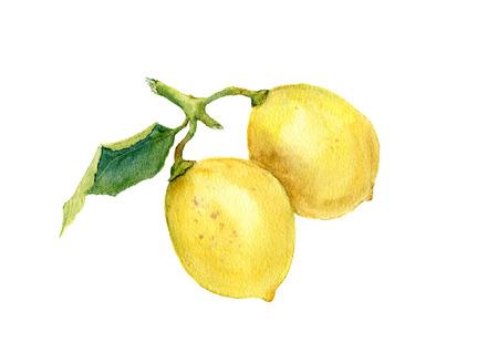 2 つの水彩画レモン。植物イラスト