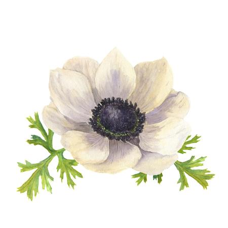 水彩のアネモネの花を残します。手には、白い背景を持つ花のイラストが描かれました。植物イラスト
