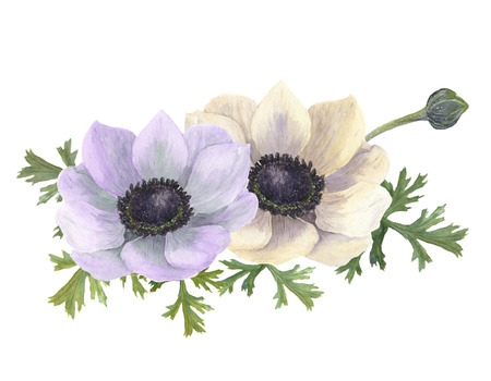 botanical illustration: Watercolor anemone flowers. Hand drawn floral illustration with white background. Botanical illustration Stock Photo