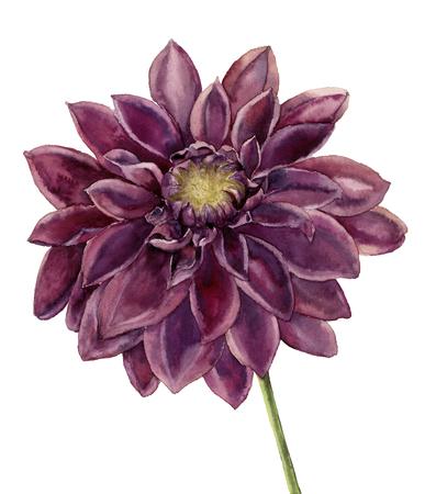 水彩のダリアの花。手描きの白い背景に分離された秋の花のイラスト。植物イラスト デザイン。