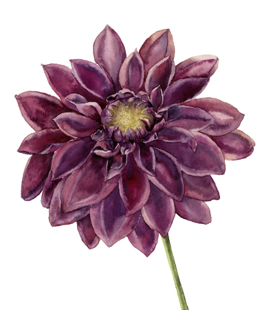 Watercolor dahlia flower. Hand painted autumn floral illustration isolated on white background. Botanical illustration for design. Stock Photo