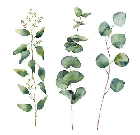 eucalyptus: Watercolor eucalyptus round leaves and branches set. Hand painted baby, seeded and silver dollar eucalyptus elements. Floral illustration isolated on white background. For design and textile Stock Photo