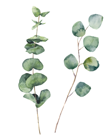 Aquarell Eukalyptus runden Blättern und Zweigen. Hand bemalt Baby Eukalyptus und Silberdollar-Elemente. Floral-Darstellung auf weißem Hintergrund. Für Design, Textil- und Hintergrund