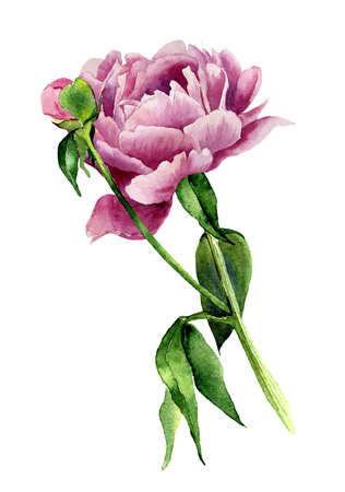 Watercolor peony flower. Vintage floral illustration isolated on white background. Hand drawn botanical illustration for your design, background, prints or card.