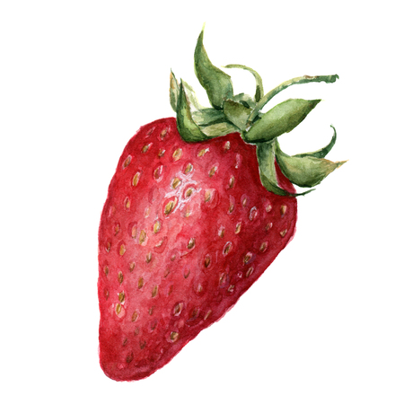 rhubarb: Watercolor strawberry. Hand drawn illustration on white background. For design, textile and background. Realistic botanical illustration.