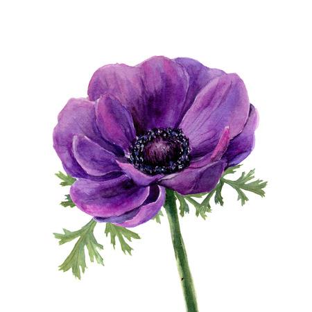 水彩紫アネモネ。手は、白い背景の上の図を描いた。設計、織物および背景。リアルなイラストです。
