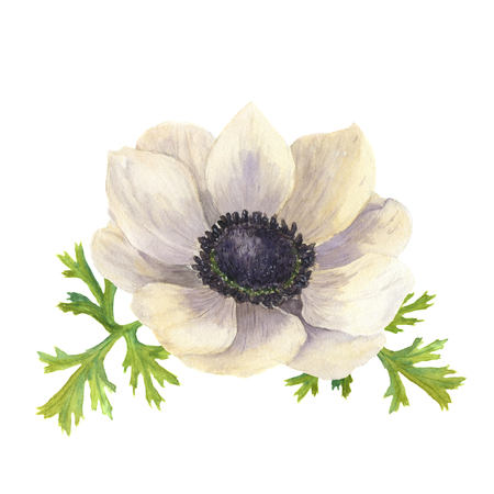 anemone: Watercolor anemone flower with leaves.Hand drawn floral illustration with white background. Botanical illustration.