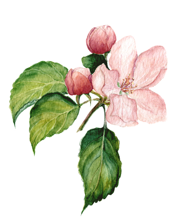 fine art: Watercolor apple blossom. Botanical isolated illustration for design. Stock Photo