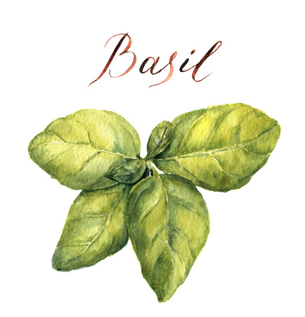 水彩のバジル。植物のイラスト。新鮮な緑のバジルを葉します。分離されました。