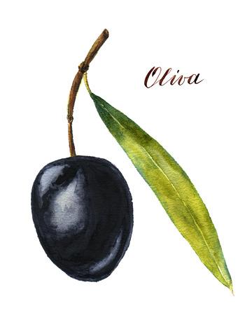 black olive: Watercolor black olive with leaf for design