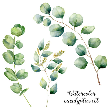 Watercolor eucalyptus set. Hand painted baby, seeded and silver dollar eucalyptus elements. Floral illustration with round leaves and branches isolated on white background. For design and textile