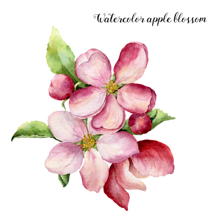 Watercolor apple blossom. Hand painted floral botanical illustration isolated on white background. Pink flower for design, print or fabric. Zdjęcie Seryjne - 71133900