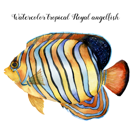 수채화 로얄 angelfish입니다. 손으로 흰색 배경에 고립 된 트로픽 물고기를 그렸습니다. 디자인, 패브릭 또는 인쇄에 대 한 수 중 동물 그림. 스톡 콘텐츠
