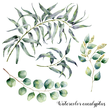 Watercolor set with eucalyptus branch. Hand painted floral illustration with leaves and branches of seeded and silver dollar eucalyptus isolatedon white background. For design, print and fabric