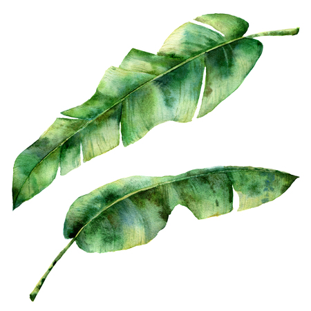 Watercolor banana tree leaves. Hand painted exotic greenery branch. Tropic plant isolated on white background. Botanical illustration. For design, print or background Banco de Imagens