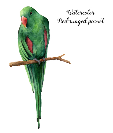 Watercolor red-winged parrot. Hand painted tropical bird isolated on white background. Nature animal illustration. For design, print or background Zdjęcie Seryjne