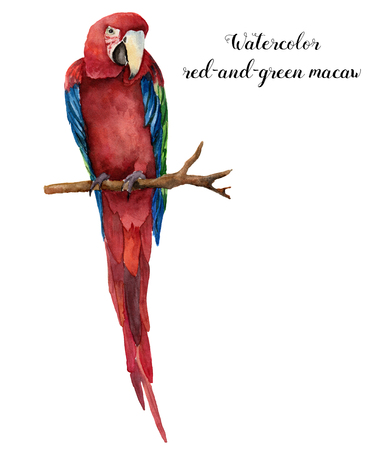 Watercolor red-and-green macaw. Hand painted parrot isolated on white background. Nature illustration with bird. For design, print or background