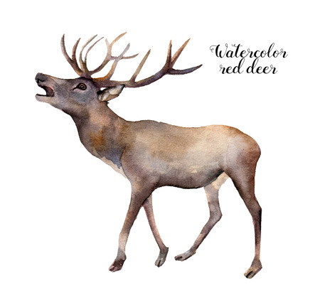 Ciervo rojo de la acuarela. Ilustración de animales salvajes pintados a mano sobre fondo blanco. Impresión de la naturaleza de la Navidad para el diseño. Foto de archivo - 83355558