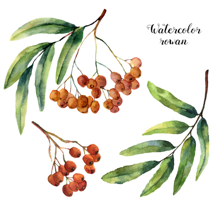 Watercolor rowan set. Hand painted mountain-ashe fruit with leaves and branch  isolated on white background. Botanical illustration for design.