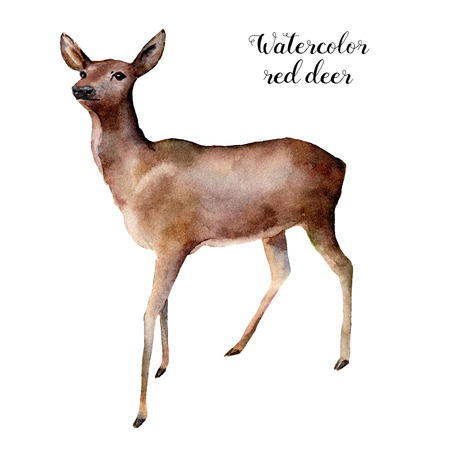 Watercolor deer. Hand painted wild animal illustration isolated on white background. Christmas nature print for design.