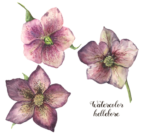combination: Watercolor hellebore flower set. Hand painted Christmas plant with leaves isolated on white background. Floral botanical clip art for design or print.