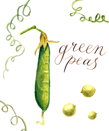 Watercolor green peas. Botanical isolated illustration for design Stock Photo