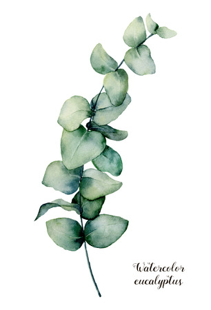 Watercolor baby blue eucalyptus branch. Hand painted floral illustration isolated on white background. Botanical print for design, background or card. 스톡 콘텐츠