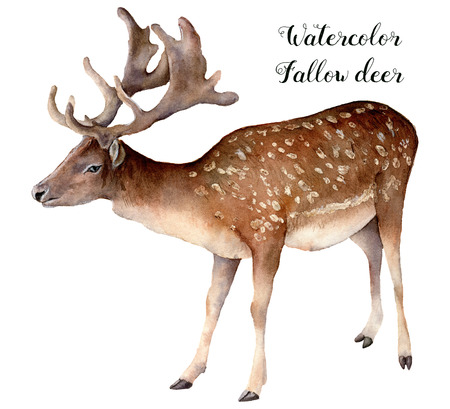 Watercolor fallow deer. Hand painted wild animal isolated on white background. Realistic male fallow for design, print or background.
