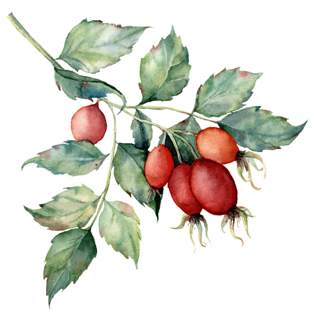 Watercolor dog rose branch. Hand painted rose hips with leaves isolated on white background. Botanical illustration for design, print or background. Floral clip art.