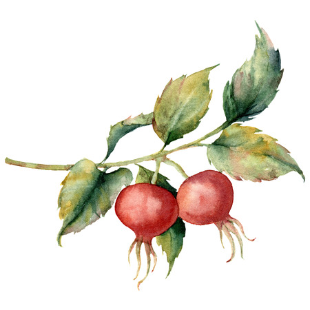 Watercolor card with branch of Dog rose, red berries and green leaves. Hand painted briar and hips isolated on white background. Illustration for design, fabric, print or background.