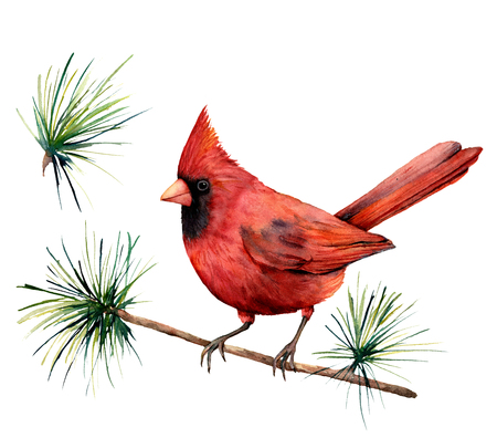 Watercolor bird red cardinal. Hand painted greeting card illustration with bird and branch isolated on white background. For design, print or background.