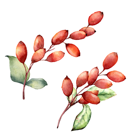 Watercolor barberries. Hand painted berries, leaves and branches isolated on white background. Botanical illustration for design, print or background. Christmas berries.