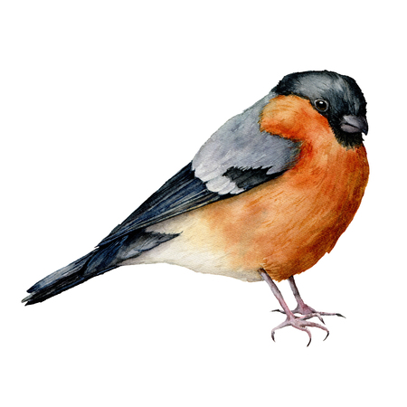 Watercolor bullfinch. Hand painted bird isolated on white background. Holiday nature illustration for design, print or background. Christmas clip art