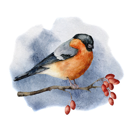 Watercolor buulfinch sitting on tree branch in forest. Hand painted winter illustration with bird  and dog rose berries isolated on white background.  Holiday print for design. Christmas card.