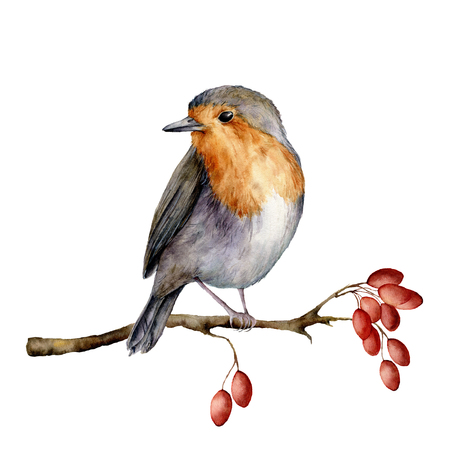 Watercolor robin sitting on tree branch with berries. Hand painted winter illustration with bird and dog rose berries isolated on white background. Holiday clip art for design, print. Christmas card