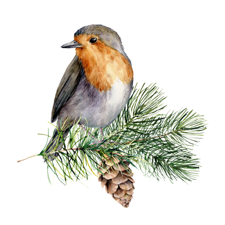 Watercolor robin sitting on tree branch with pine cone. Hand painted winter illustration with bird  and fir tree isolated on white background.  Holiday clip art for design, print. Christmas card
