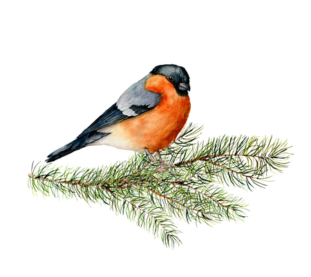 Watercolor bullfinch sitting on pine tree branch. Hand painted winter illustration with bird  and fir tree isolated on white background.  Holiday clip art for design, print. Christmas card Zdjęcie Seryjne