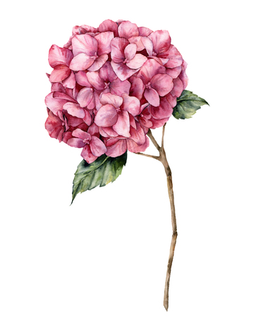 Watercolor hydrangea. Hand painted pink flower with leaves and branch isolated on white background.  Nature botanical illustration for design, print. Realistic delicate plant.
