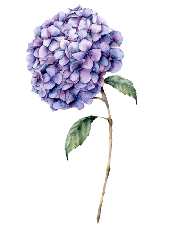 Watercolor violet hydrangea. Hand painted blue flower with leaves and branch isolated on white background. Nature botanical illustration for design, print. Realistic delicate plant.