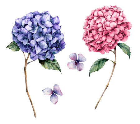 Watercolor pink and violet hydrangea set. Hand painted flowers with leaves and branch isolated on white background.  Nature botanical illustration for design, print. Realistic delicate plant. Stock Photo