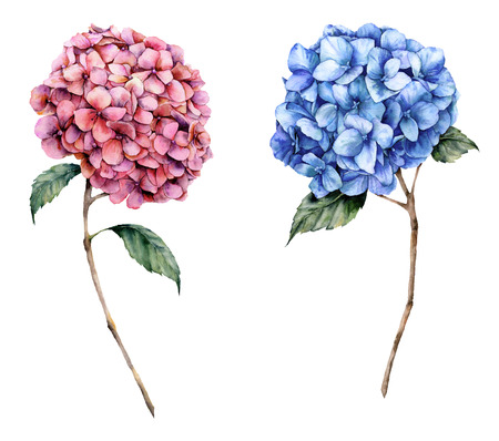 Watercolor pink and blue hydrangea set. Hand painted flowers with leaves and branch isolated on white background.  Nature botanical illustration for design, print. Realistic delicate plant.