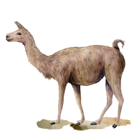 Watercolor card with walking llama. Hand painted beautiful illustration with animal isolated on white background. For design, print, fabric or background. Stock Photo