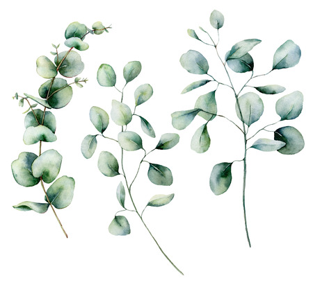 Watercolor eucalyptus set. Hand painted baby, seeded and silver dollar eucalyptus branch isolated on white background. Floral illustration for design, print, fabric or background. Stock Photo