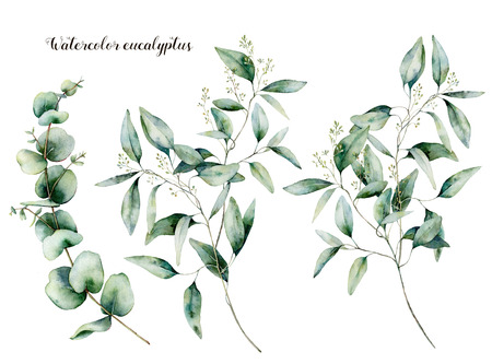 Watercolor seeded and baby eucalyptus set. Hand painted eucalyptus branch and leaves isolated on white background. Floral illustration for design, print, fabric or background.
