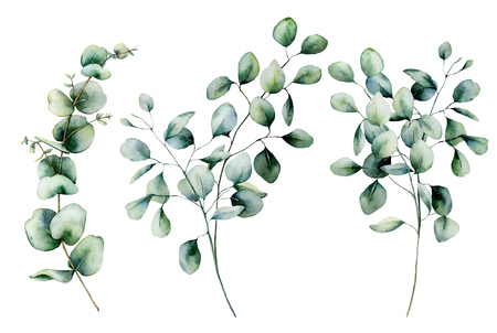 Watercolor seeded and silver dollar eucalyptus set. Hand painted eucalyptus branch and leaves isolated on white background. Floral illustration for design, print, fabric or background.