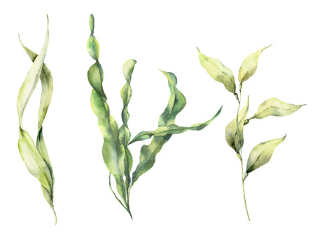 Watercolor laminaria set. Hand painted underwater floral illustration with algae leaves branch isolated on white background. For design, fabric or print. 版權商用圖片