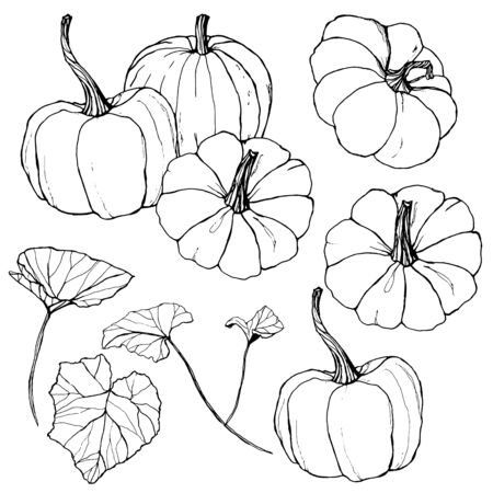 Vector pumpkins set for harvest festival. Hand painted traditional pumpkins with leaves and branches isolated on white background. Botanical line art illustration for design, print or background