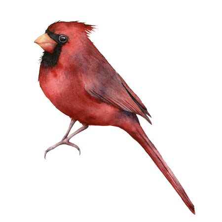 Watercolor red cardinal. Hand painted greeting card with bird isolated on white background. Christmas illustration for design, print, fabric or background. Winter bird