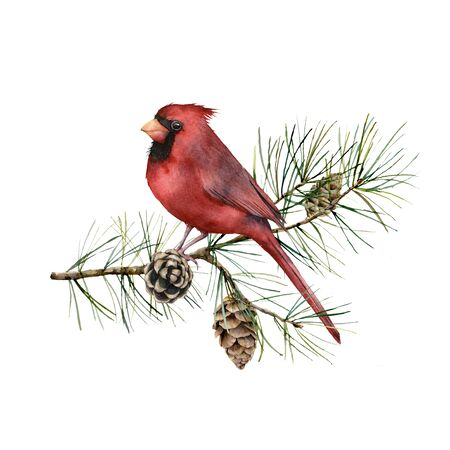 Watercolor Christmas composition with cardinal. Hand painted winter card with bird, fir branch and cones isolated on white background. Botanical illustration for design, print, fabric or background.