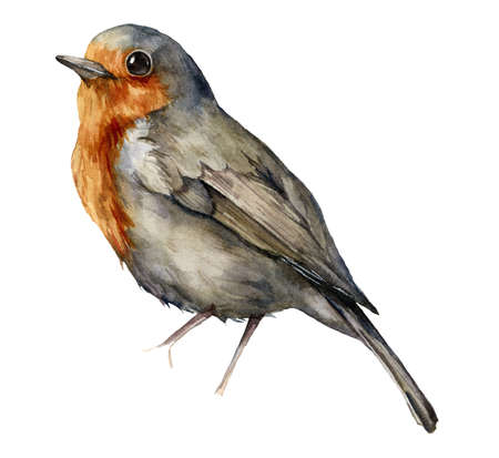 Watercolor robin redbreast. Hand painted bird isolated on white background. Wildlife illustration for design, print, fabric or background.